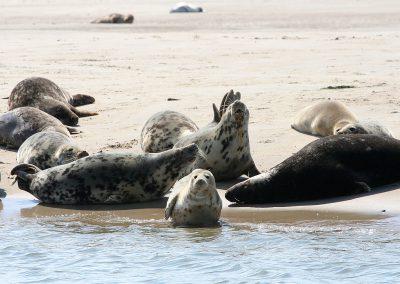 2_zeehonden Vlieland