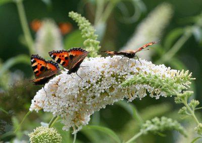 30_vlinders