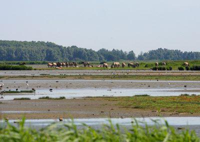 36_paarden Lauwersmeer