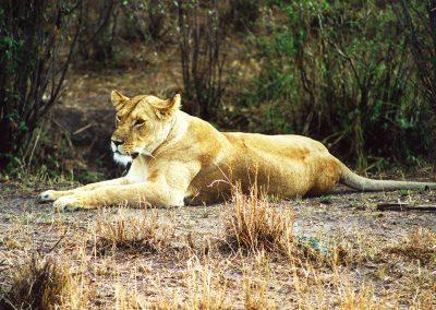 43_Leeuw Masai Mara
