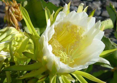 bloemcactus