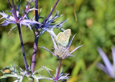 1_vlinder