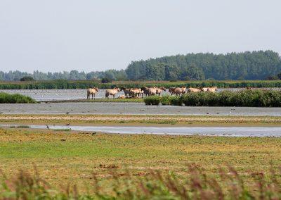 24_Lauwersmeer_konikspaarden