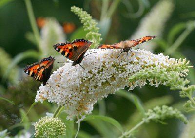 2_vlinders