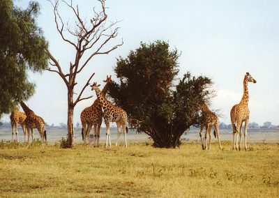 Emboseli_giraffe