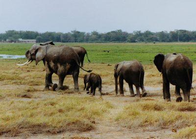 Emboseli_olifanten