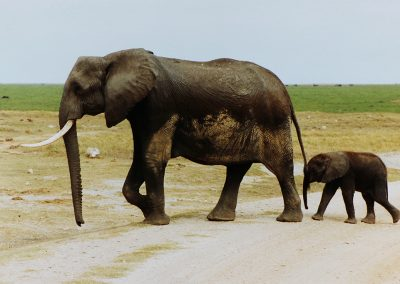 Emboseli_olifant+jong