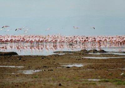 LakeNakuru_flamingo's