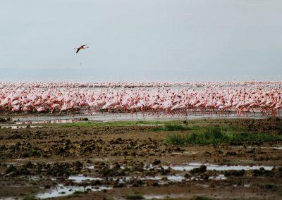LakeNakuru_flamingo's1