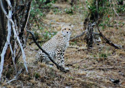 MasaiMara_cheetah1