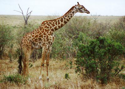 MasaiMara_giraffe