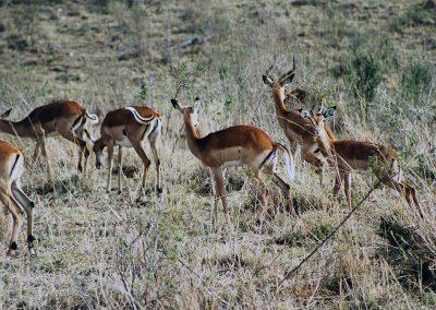 MasaiMara_impala's