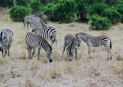 MasaiMara_zebra's