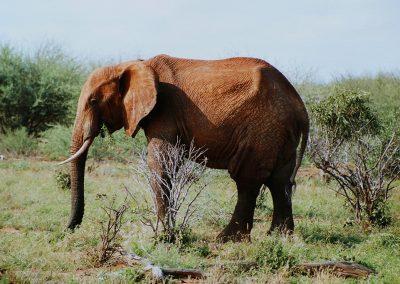 Travo-oost_olifantrood