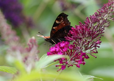 0R3A8985_vlinder_s