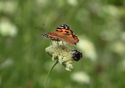 0R3A9001_vlinder-hommel_s
